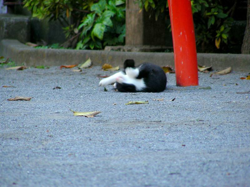 公園土の黒白猫3