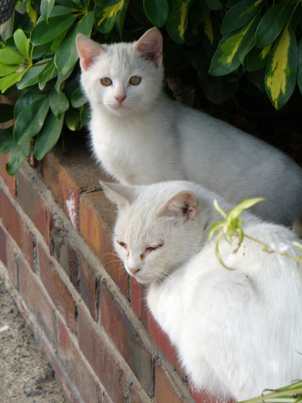 白猫親子3