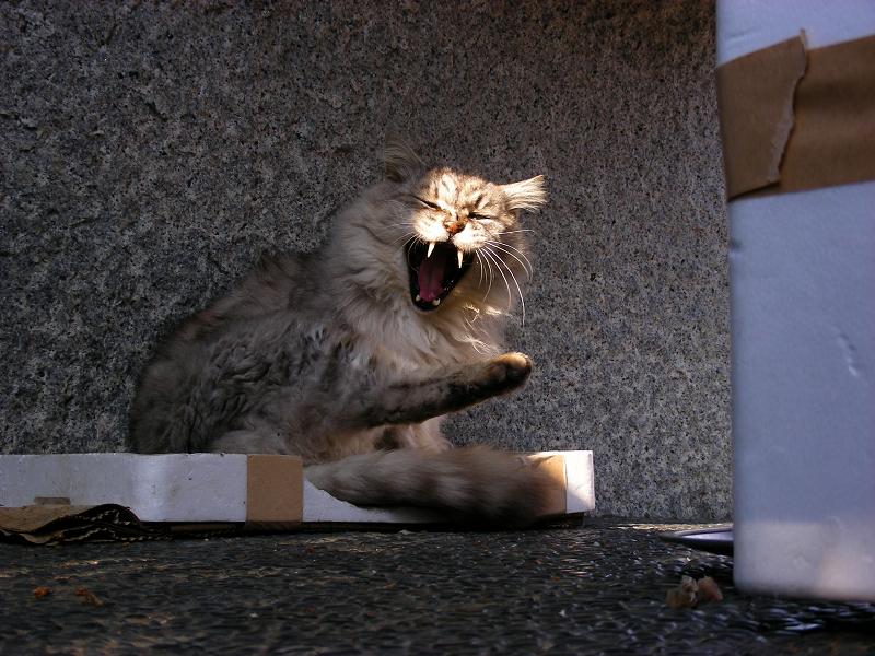箱の蓋に入って毛繕いする毛長の洋風猫4