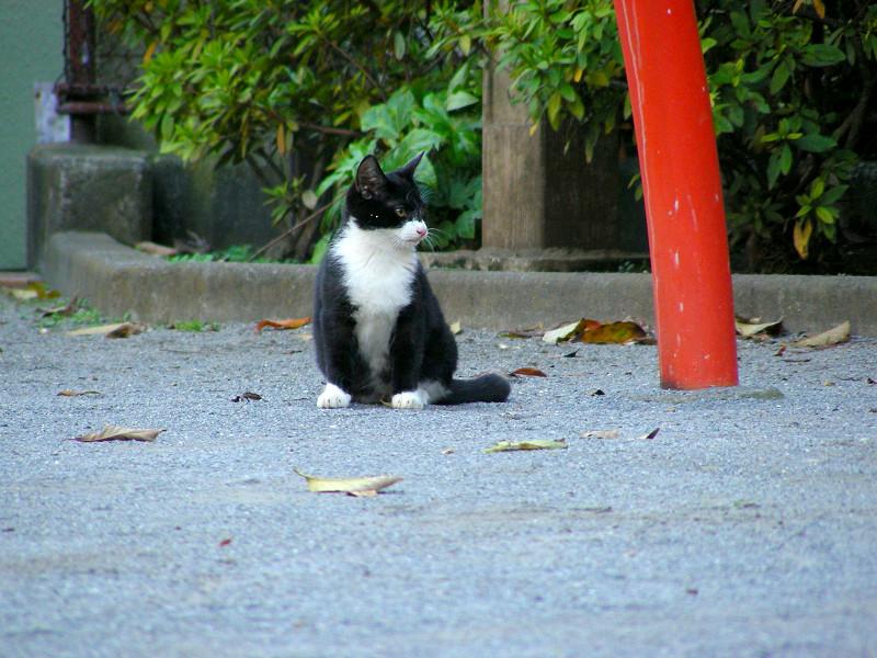 公園土の黒白猫4