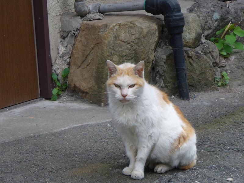 振り返って見ている白茶猫4