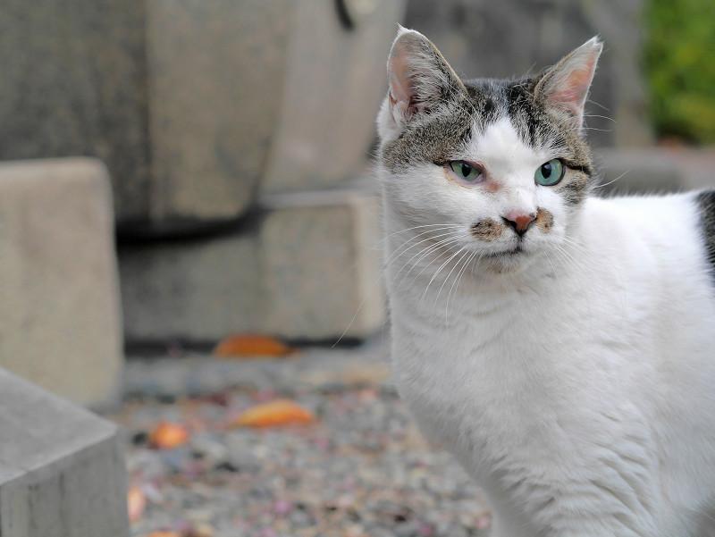 我に返った白キジ猫1