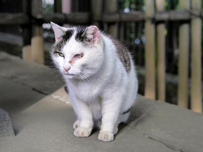 ベロが動いた白キジ猫1