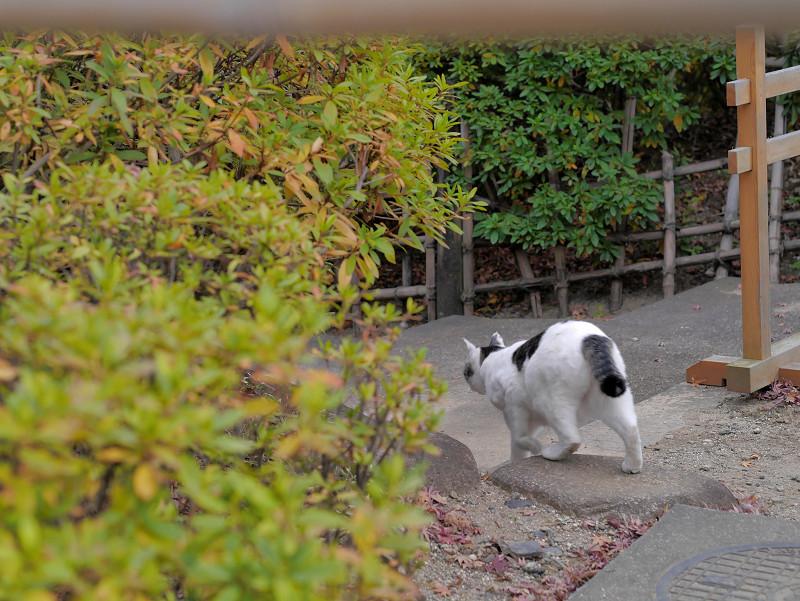 我に返った白キジ猫3
