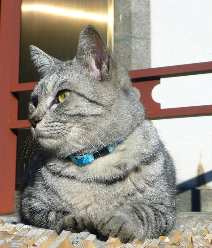 卒塔婆の上に座るサバトラ猫2
