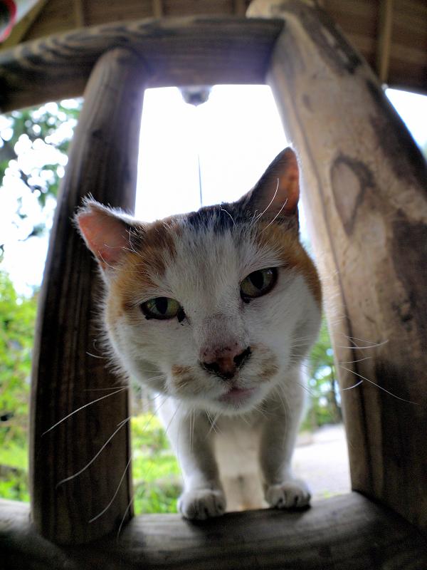 覗いて動いた白三毛猫1
