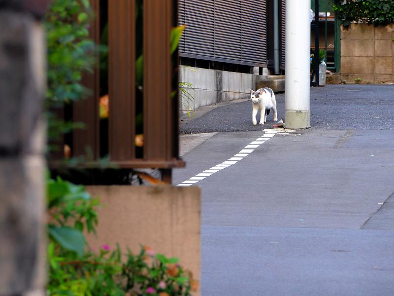 路地を歩いてきた白グレー猫1