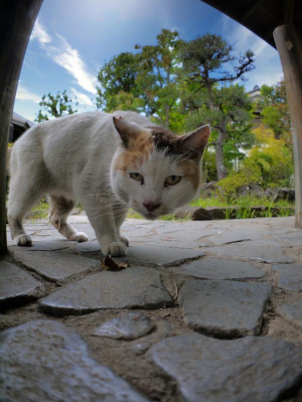 覗いて動いた白三毛猫2