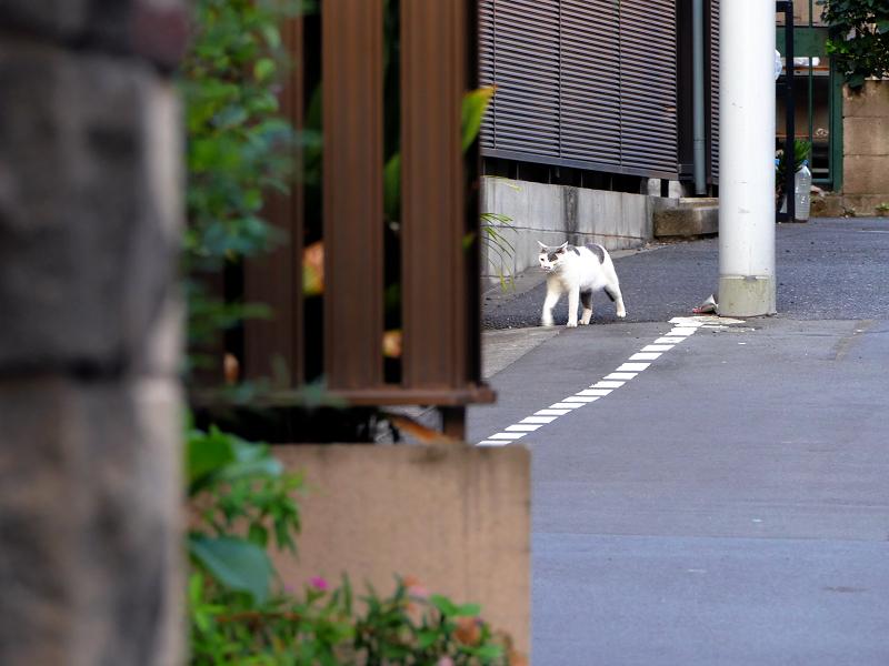 路地を歩いてきた白グレー猫2