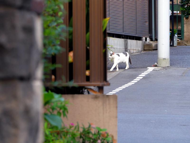 路地を歩いてきた白グレー猫3