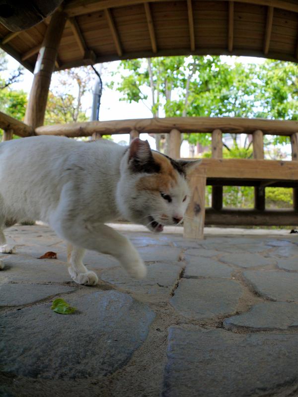 覗いて動いた白三毛猫4