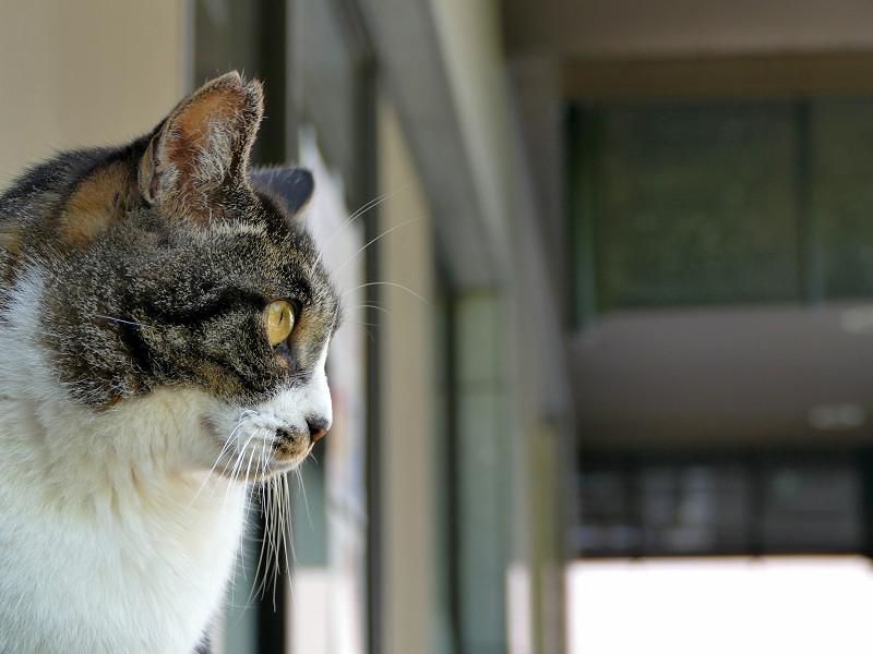 デコが出ているキジ白猫1
