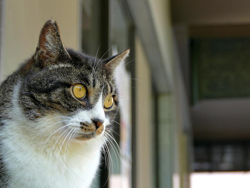 デコが出ているキジ白猫3