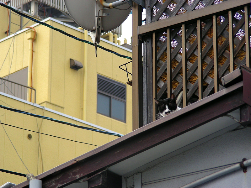 屋根の上にいた黒白猫1