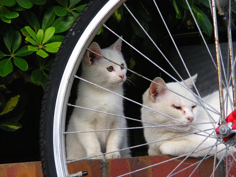 自転車と親子白猫1