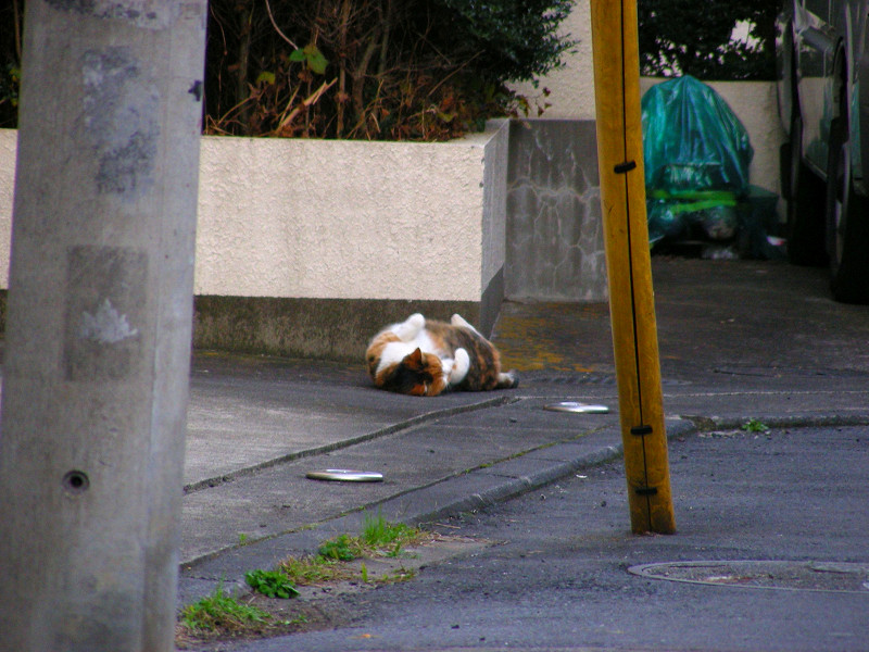 路地で転がってる三毛猫1