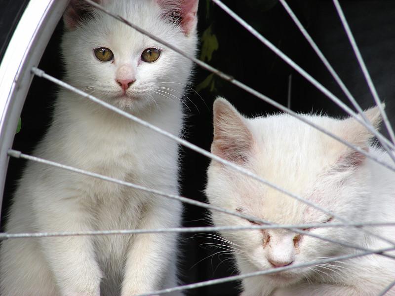 自転車と親子白猫2