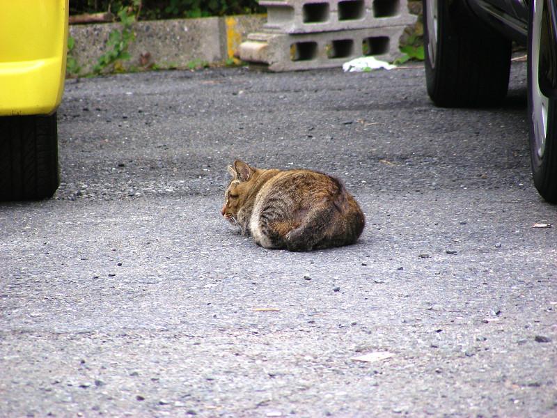 駐車場で寝ていたキジトラ猫2
