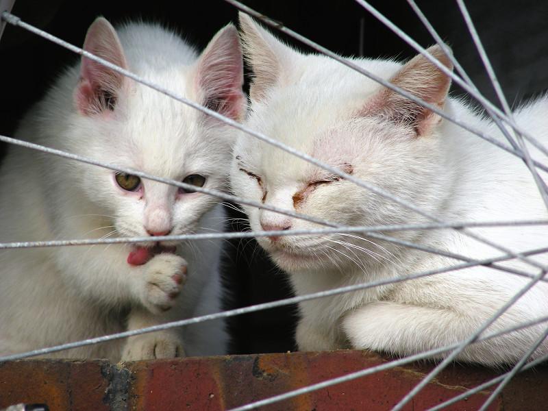 自転車と親子白猫3
