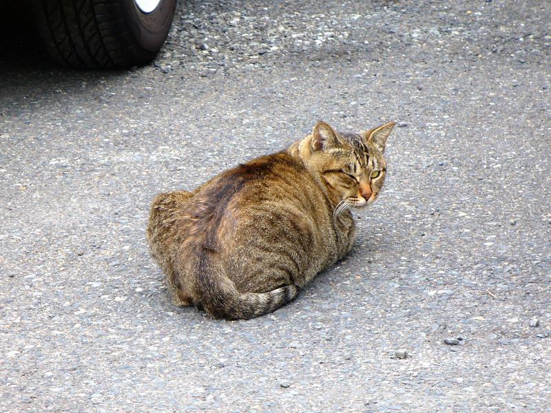 駐車場で寝ていたキジトラ猫3
