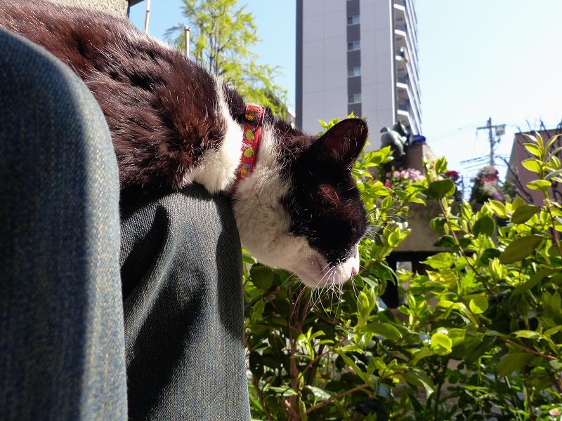 膝の上で腹ばってる黒白猫1