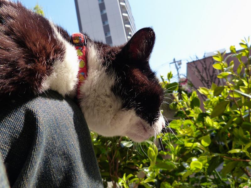 膝の上で腹ばってる黒白猫2