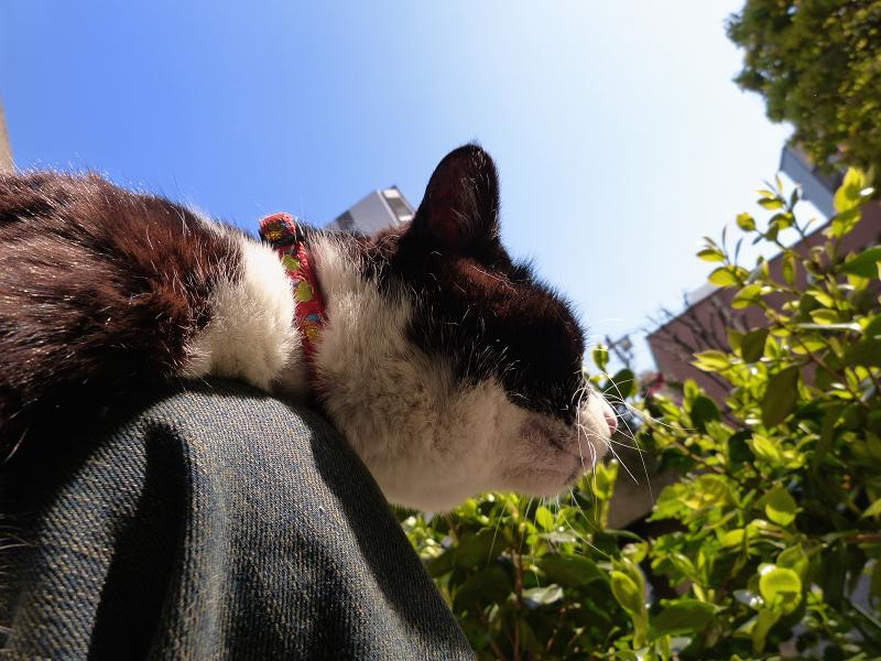 膝の上で腹ばってる黒白猫3