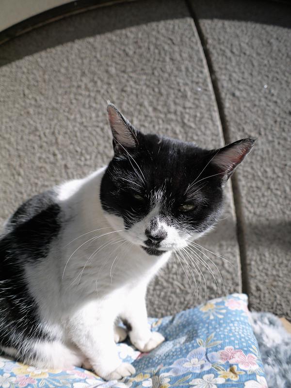 眠気に対抗してる白黒猫3