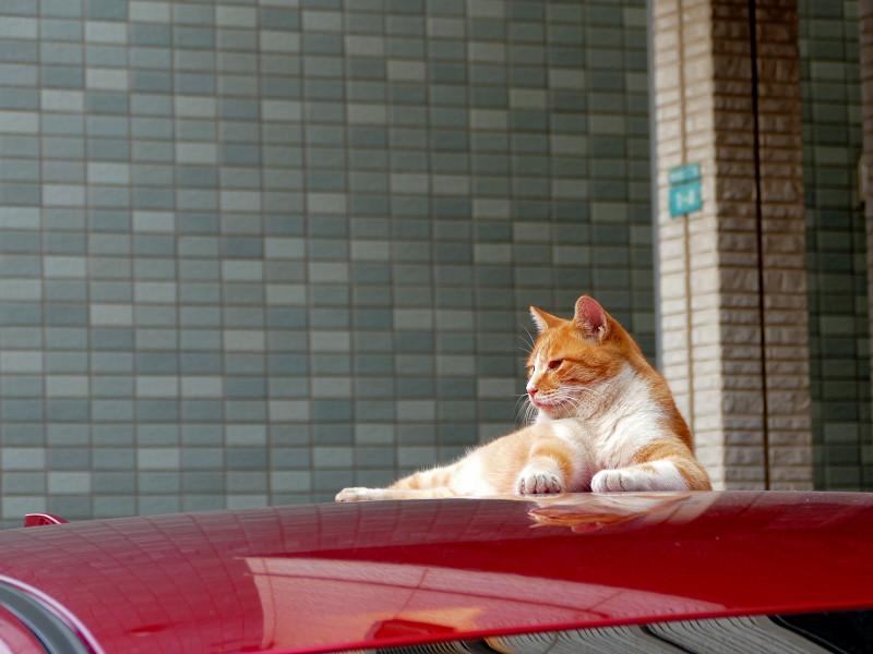赤いルーフと茶白猫2