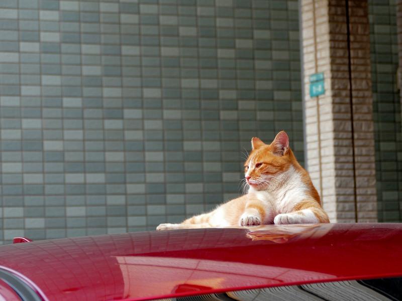 赤いルーフと茶白猫3