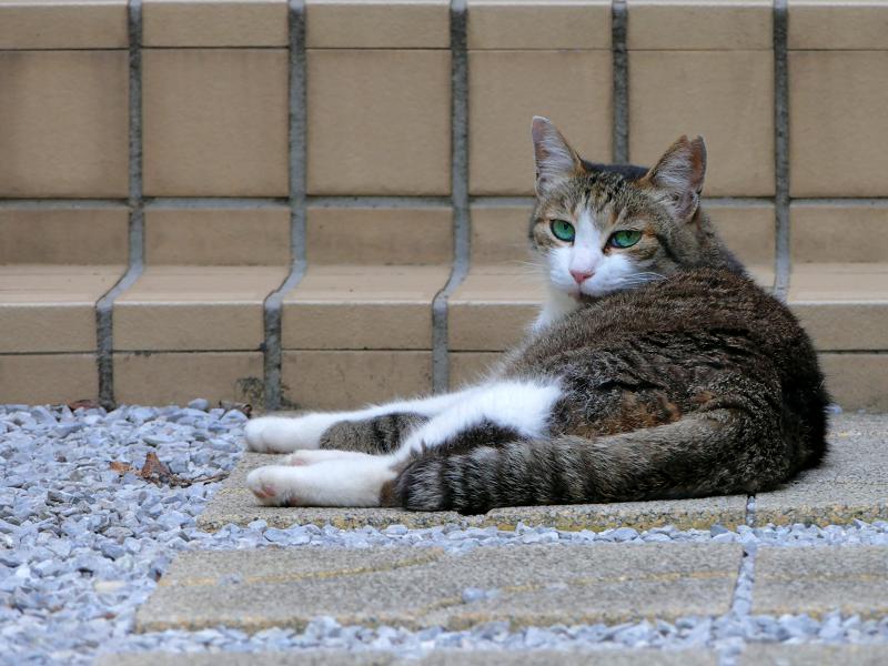 リラックスしたキジ白猫3