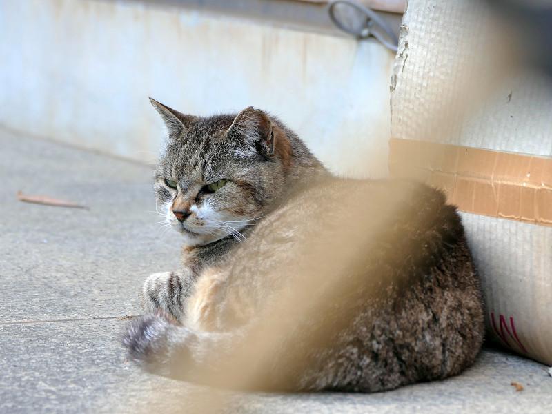 厳しい表情のキジトラ猫1