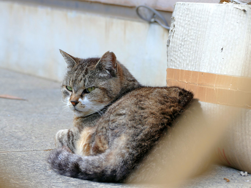 厳しい表情のキジトラ猫2