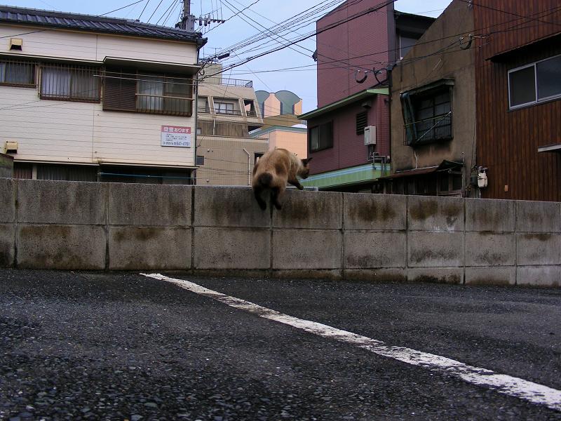 ブロック境界線に乗った洋風猫1