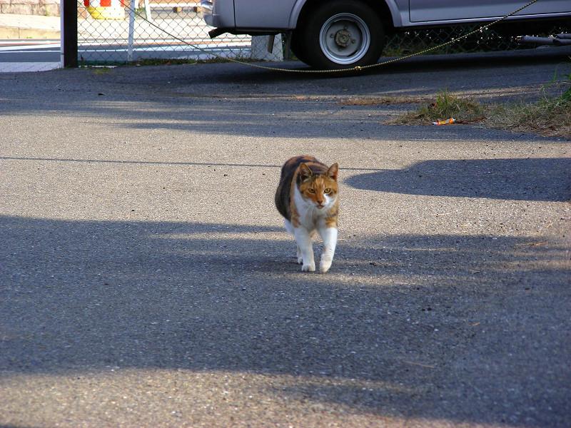 歩き寄る三毛猫1