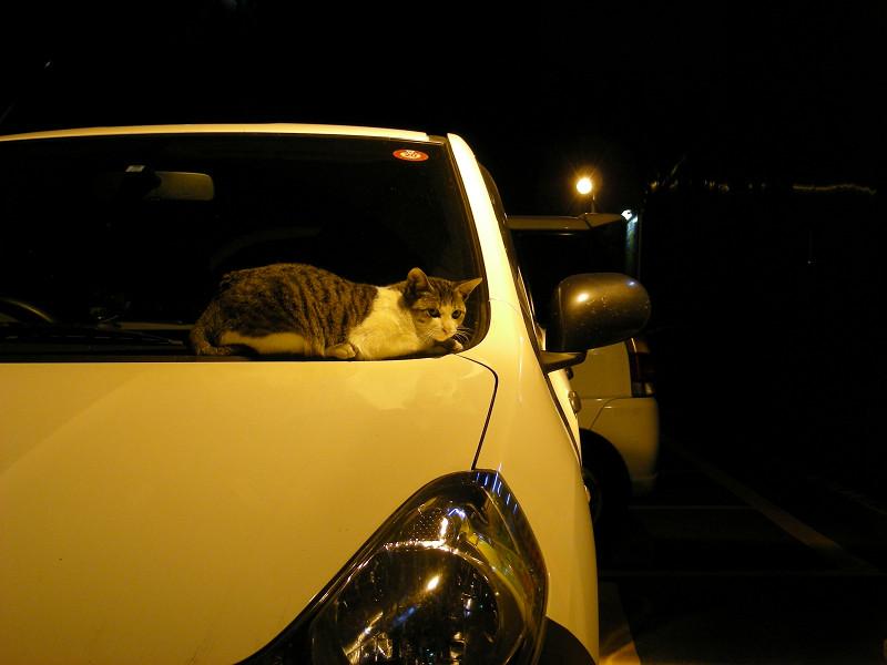 ボンネットに乗ってるキジ白猫1
