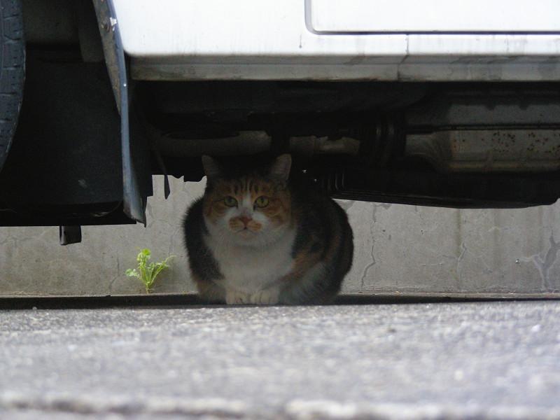 自動車の下の猫1