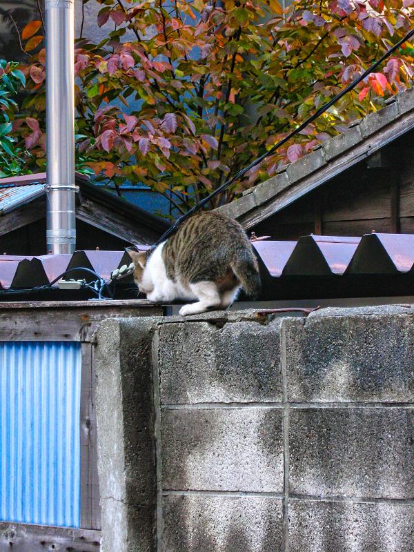 塀の上のキジ白猫1