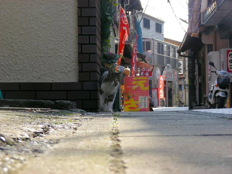 寄って来るキジ白猫2