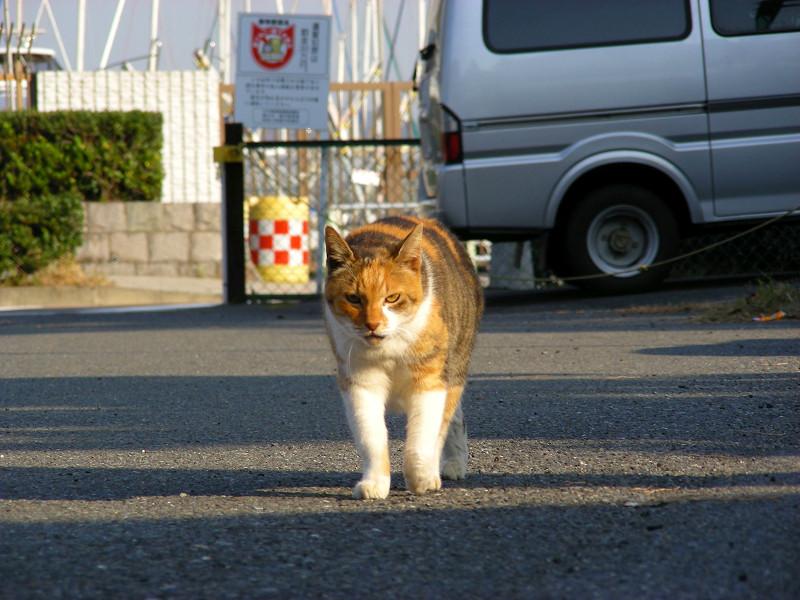 歩き寄る三毛猫2