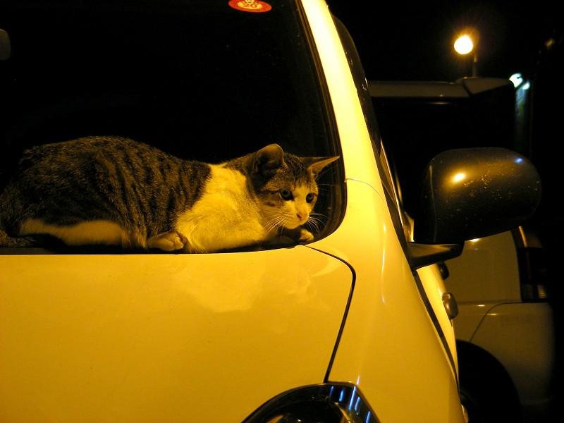 ボンネットに乗ってるキジ白猫2