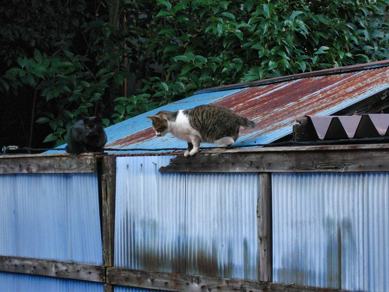 塀の上のキジ白猫3