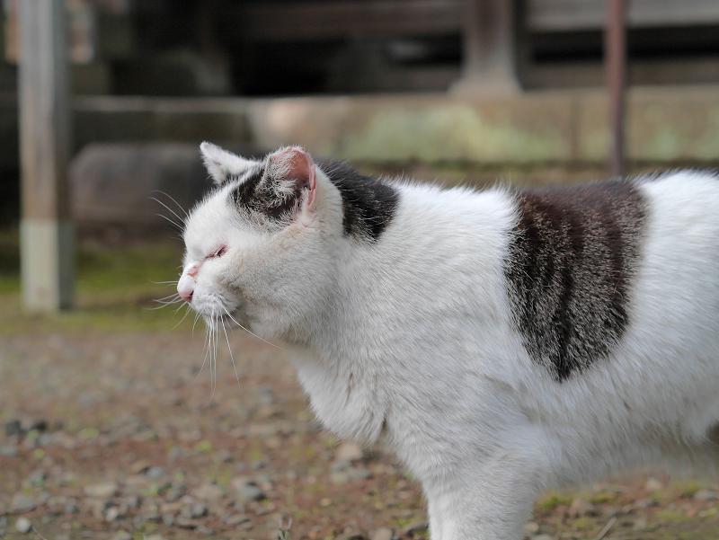 ベロを出した白キジ猫1