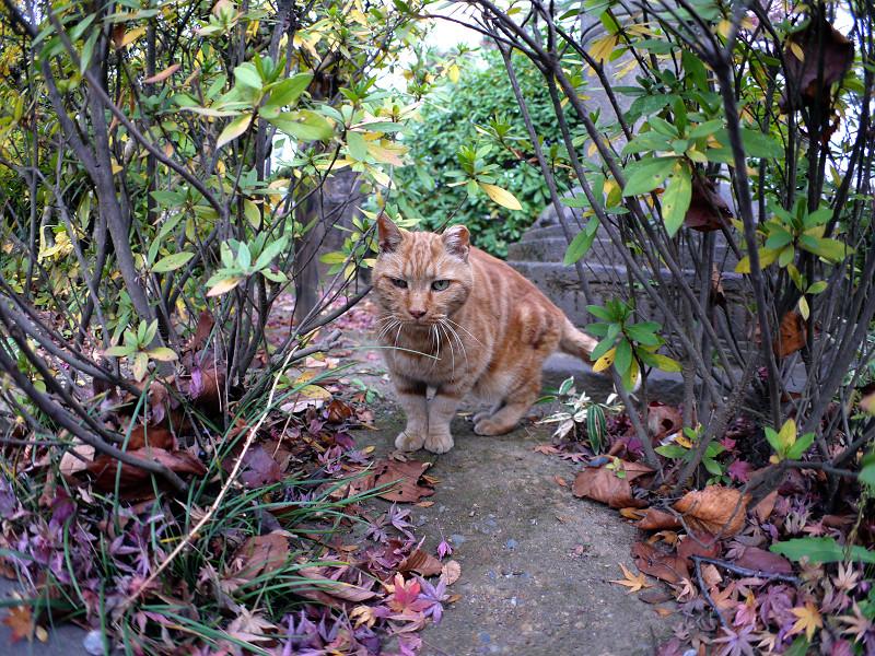 茂みの中のアメショー風猫1