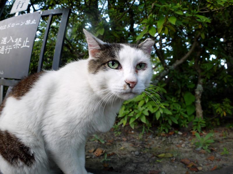 ベロを動かす白キジ猫1
