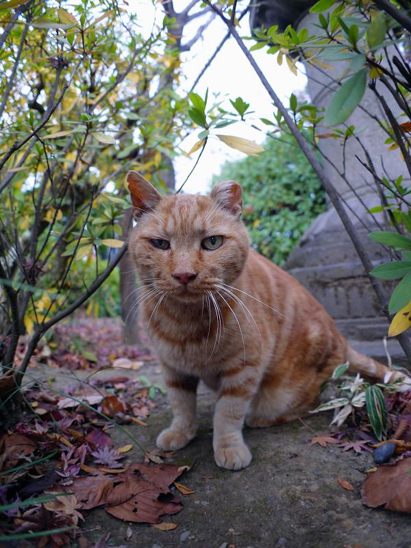 茂みの中のアメショー風猫2