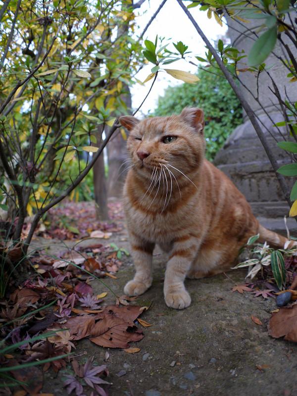 茂みの中のアメショー風猫3