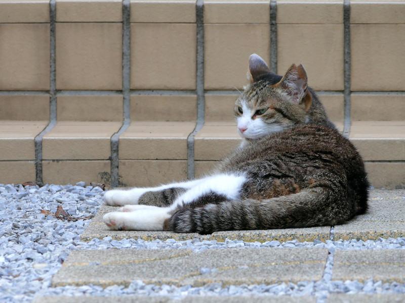 リラックスしたキジ白猫1