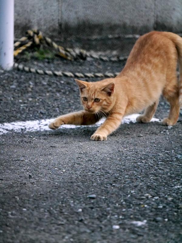前伸びが終わる茶トラ猫1