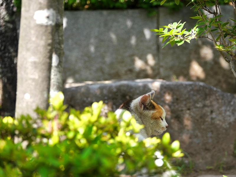 木漏れ日の白三毛猫1